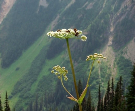 Bees on parsnip, an important springtime food for grizzly bears.