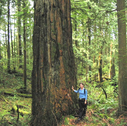 Old growth in the BC Cascades.