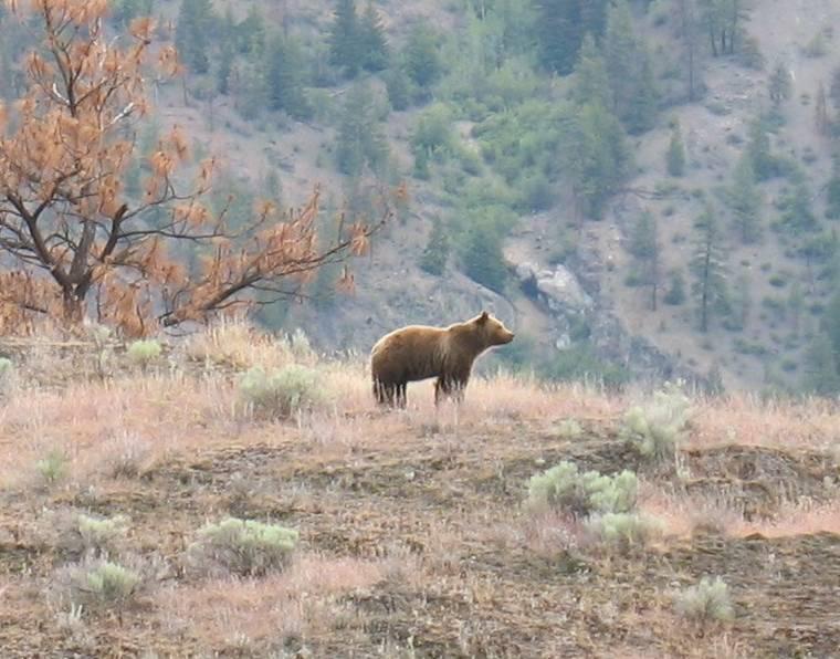 Jinx, the sub-adult cub of Jewel. Both bears have been poached. Credit: Dave Molenaar.