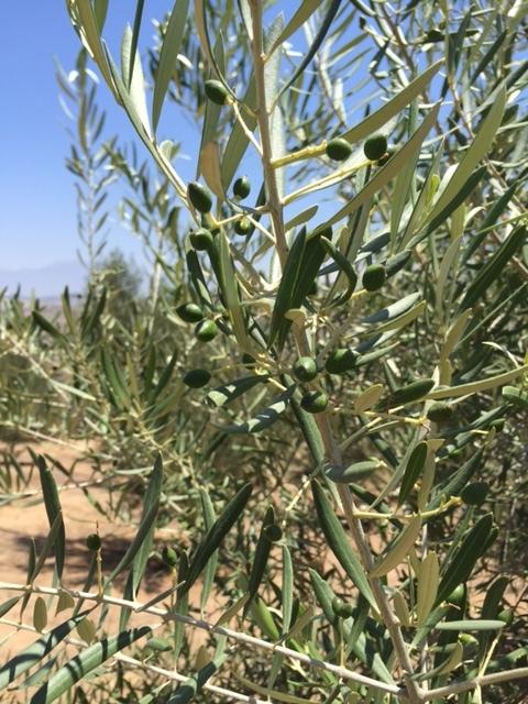 Olives May 2016.jpg