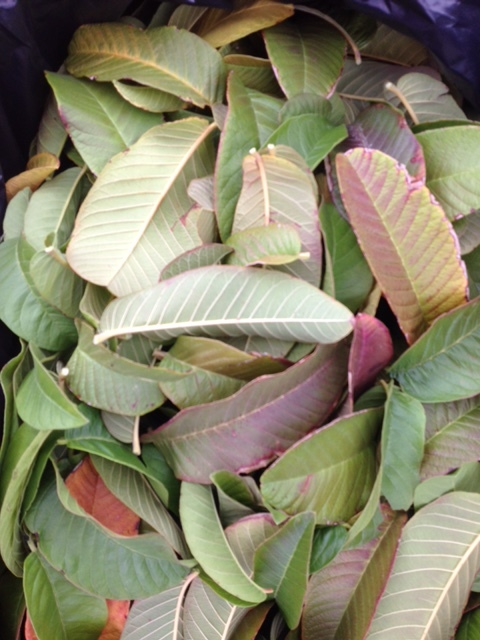fresh guava leaves.jpeg