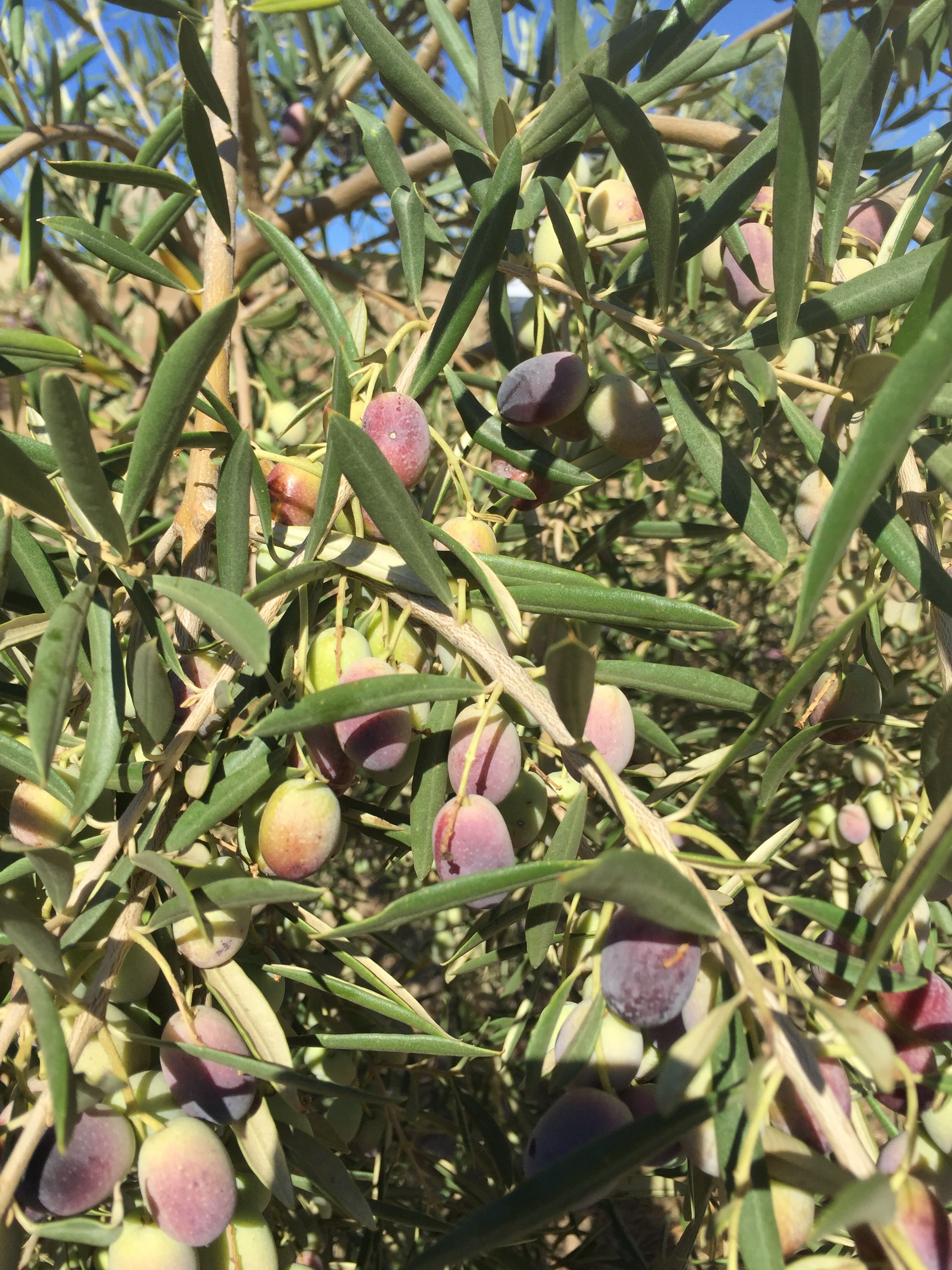 Olives ready to be harvested at our 9/10/16 harvest!