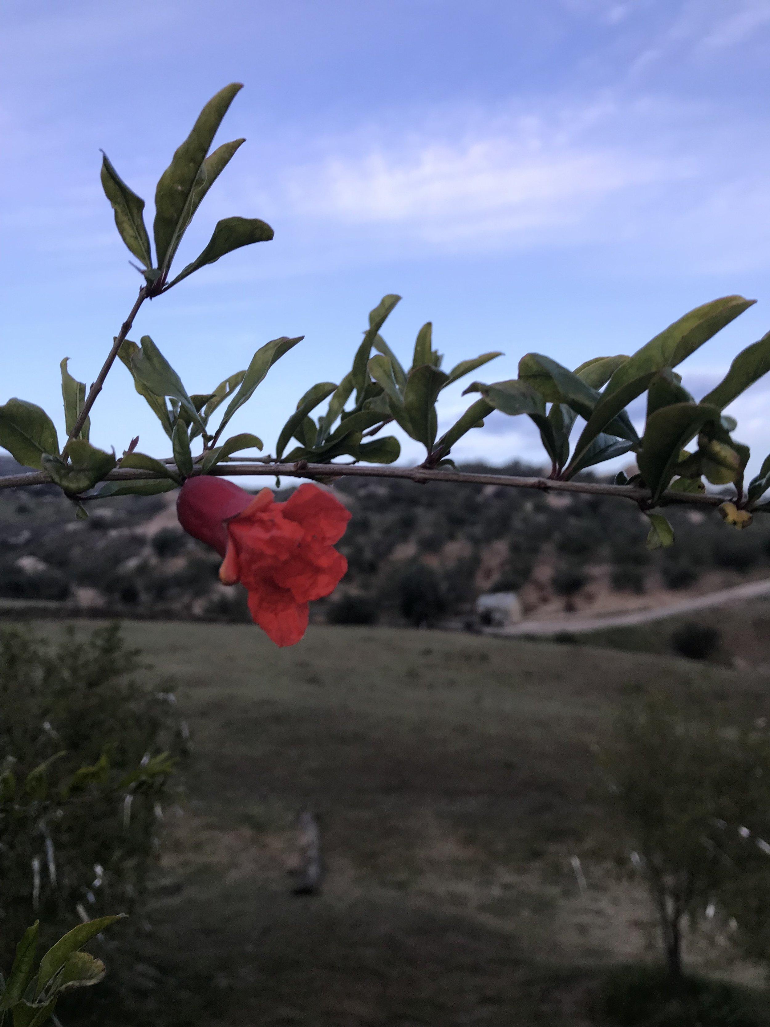 Pomegranate blossom -