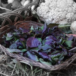 Purple basil highlighted.jpg