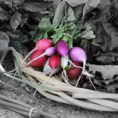 Easter egg radishes highlighted.jpg