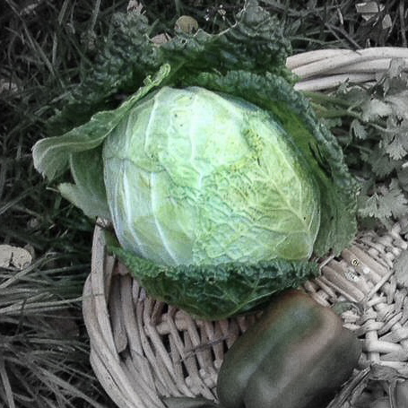Savoyed cabbage highlighted.jpg