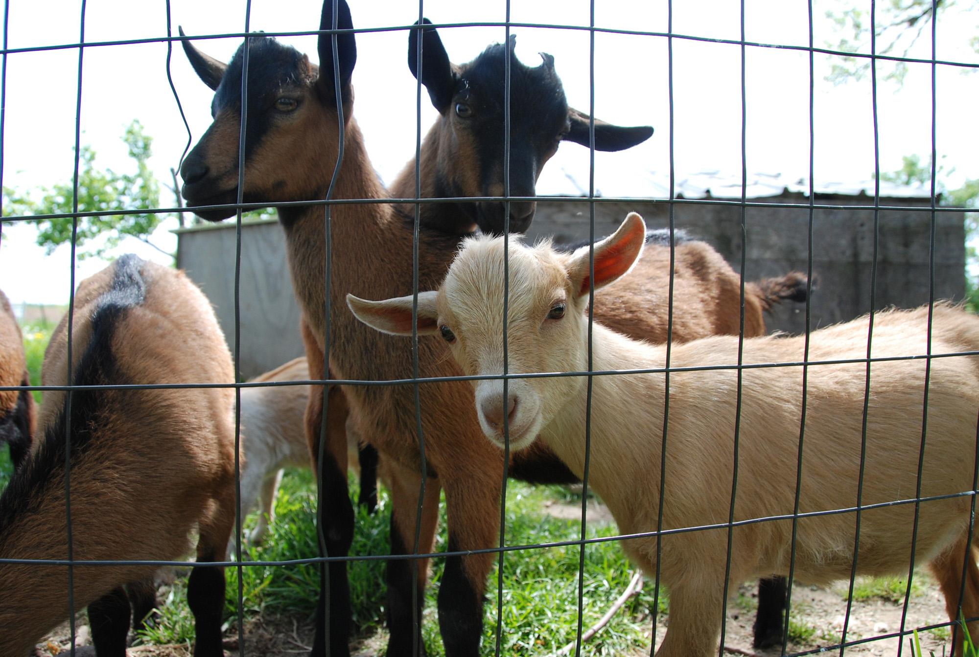 SH cute goats 3.jpg