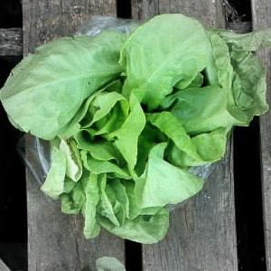 Bibb lettuce highlighted.jpg