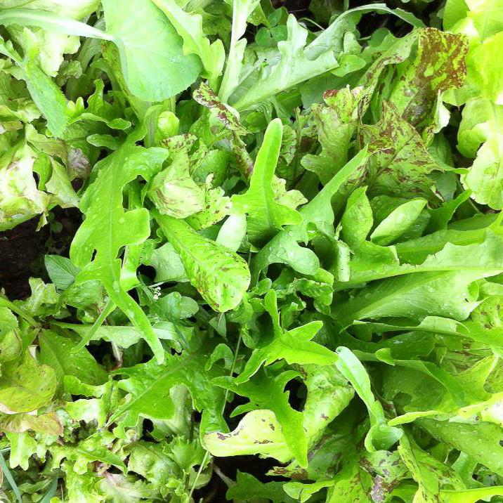 Lettuce mix highlighted.jpg