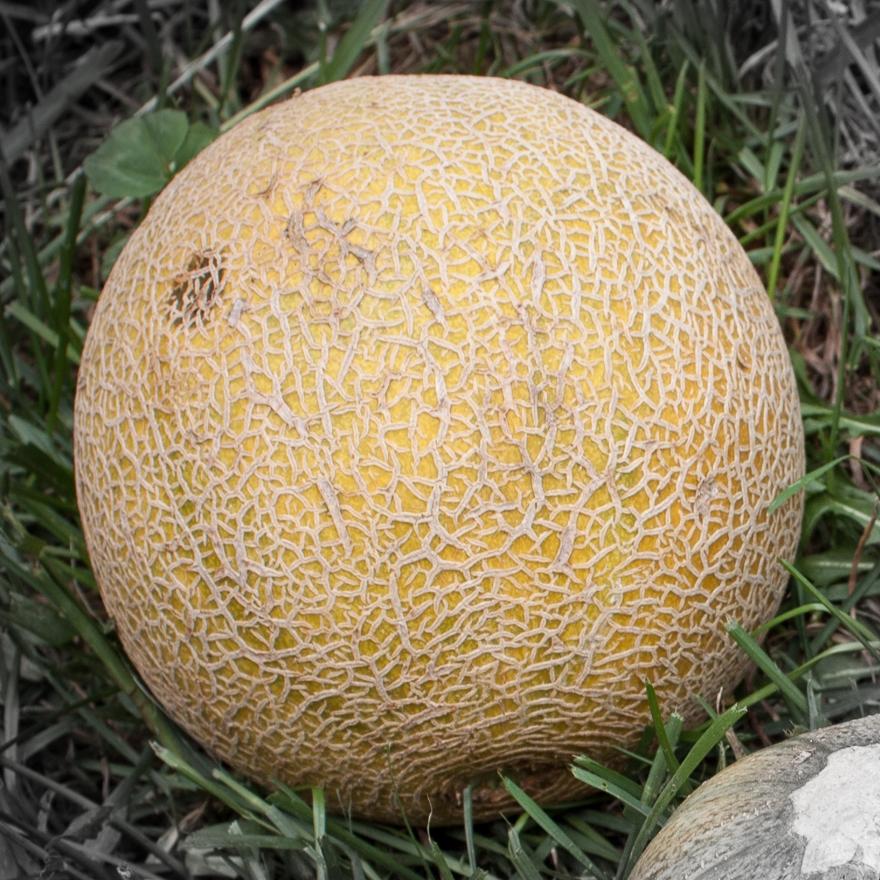 Melon highlighted-3.jpg