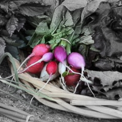 Easter egg radishes highlighted.jpg