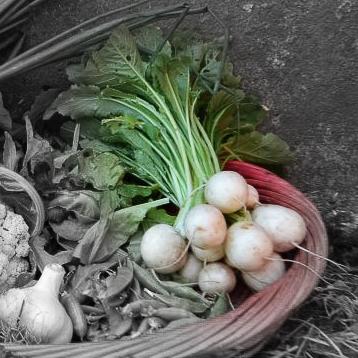 Haruki turnips highlighted.jpg