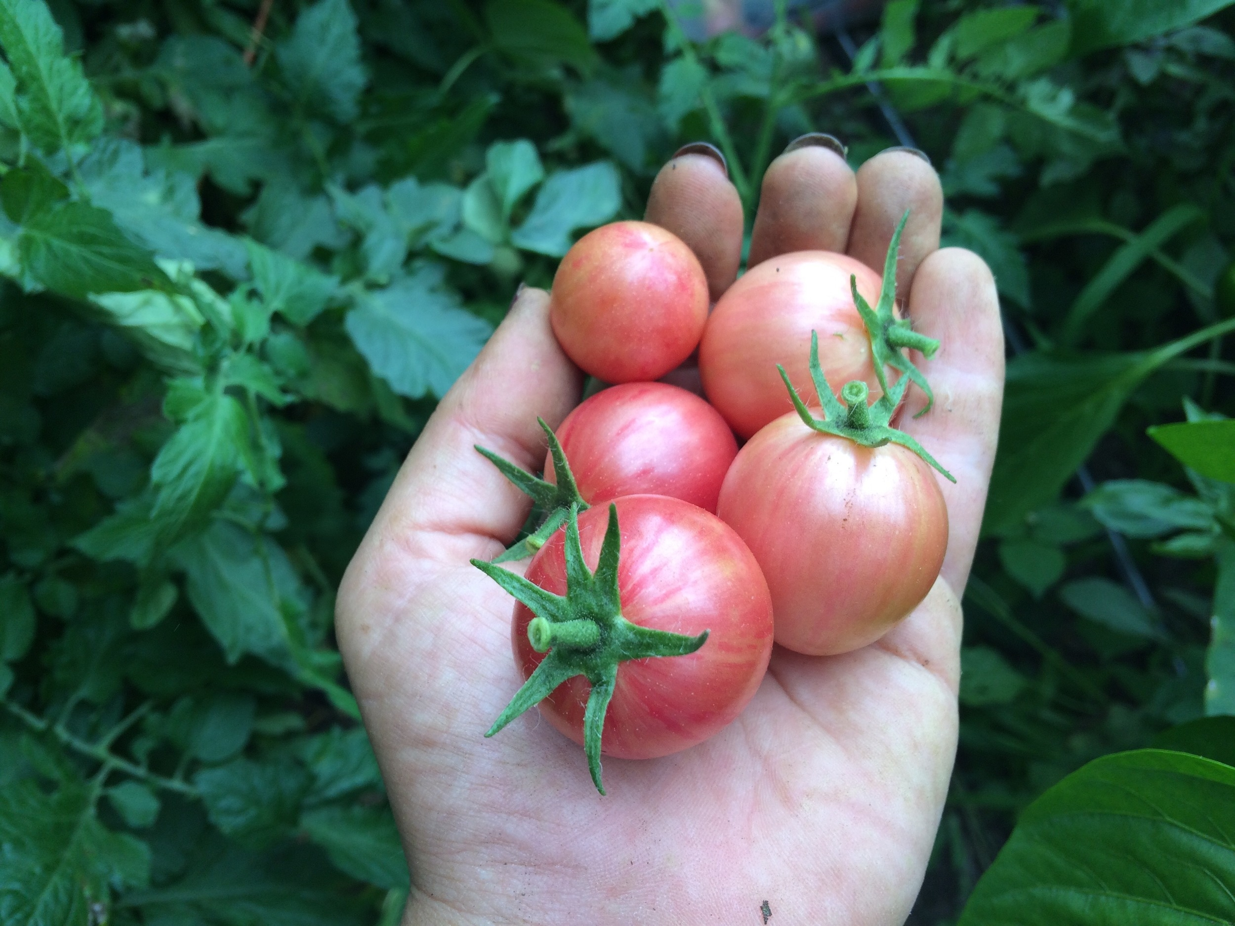Pink bumblebee tomato