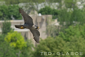 Angry-Flyby-©Ted_Glasoe-Website