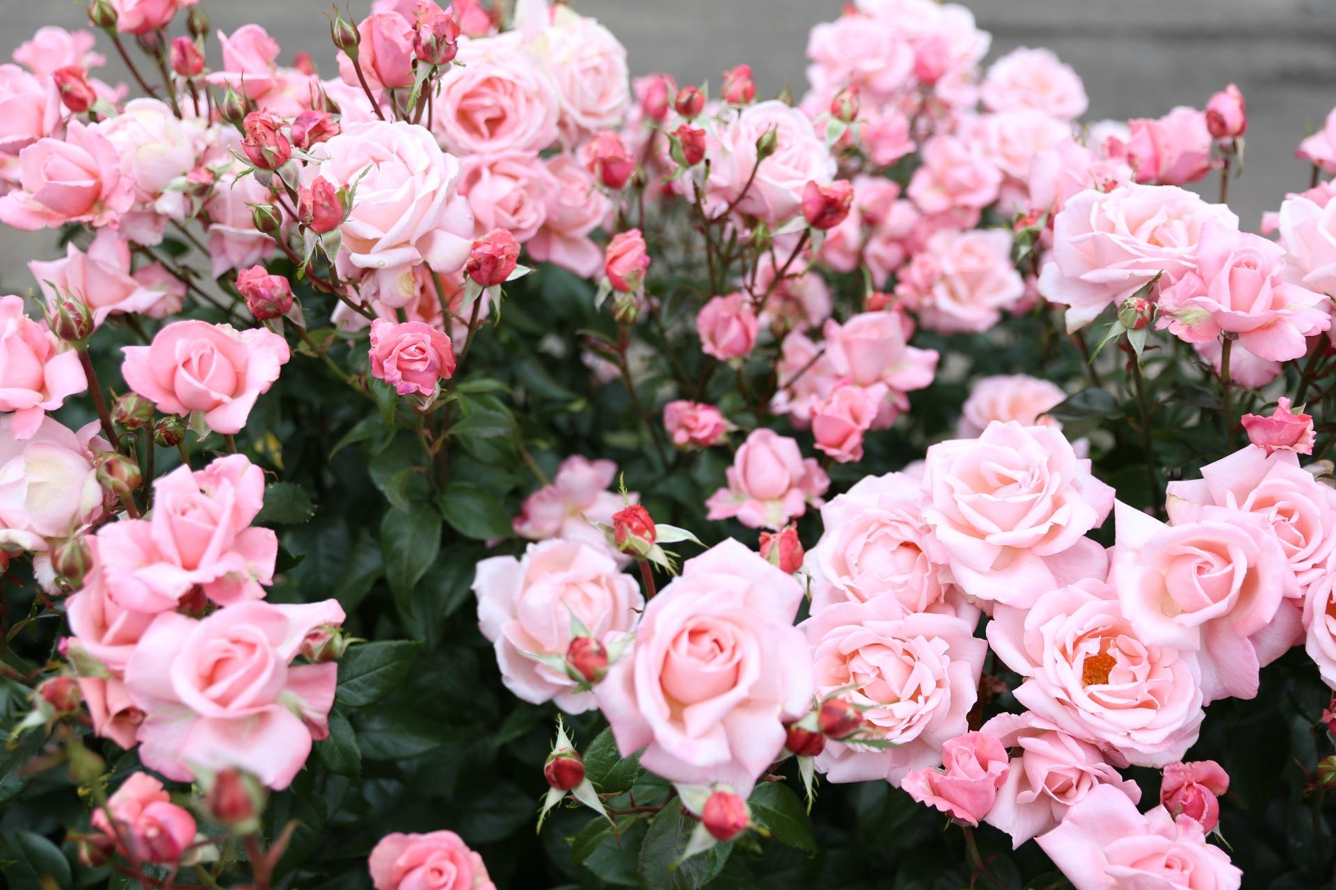 rosegardne15.jpg