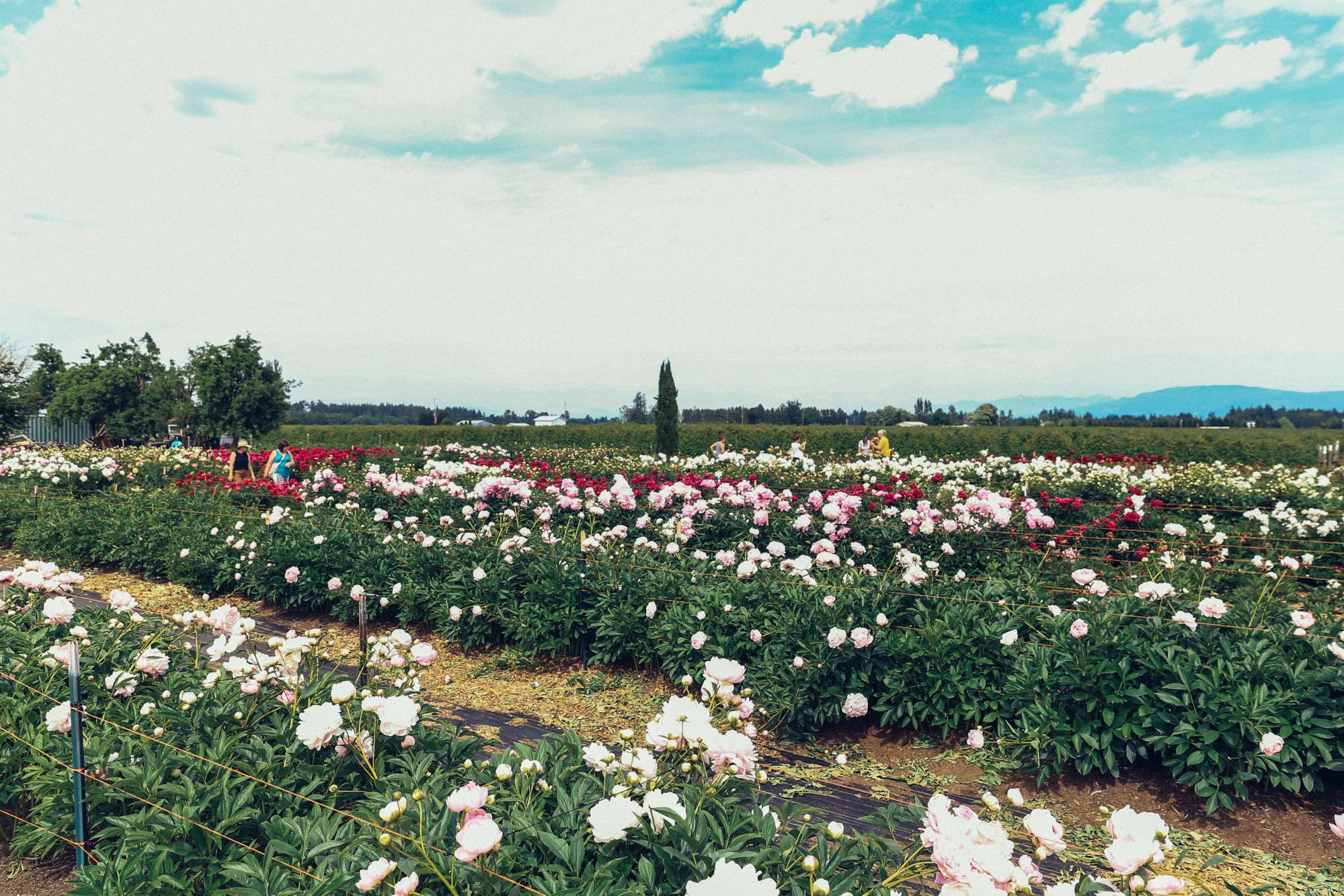 PNW Peony Farm - Oh Flora Travels-2.jpg