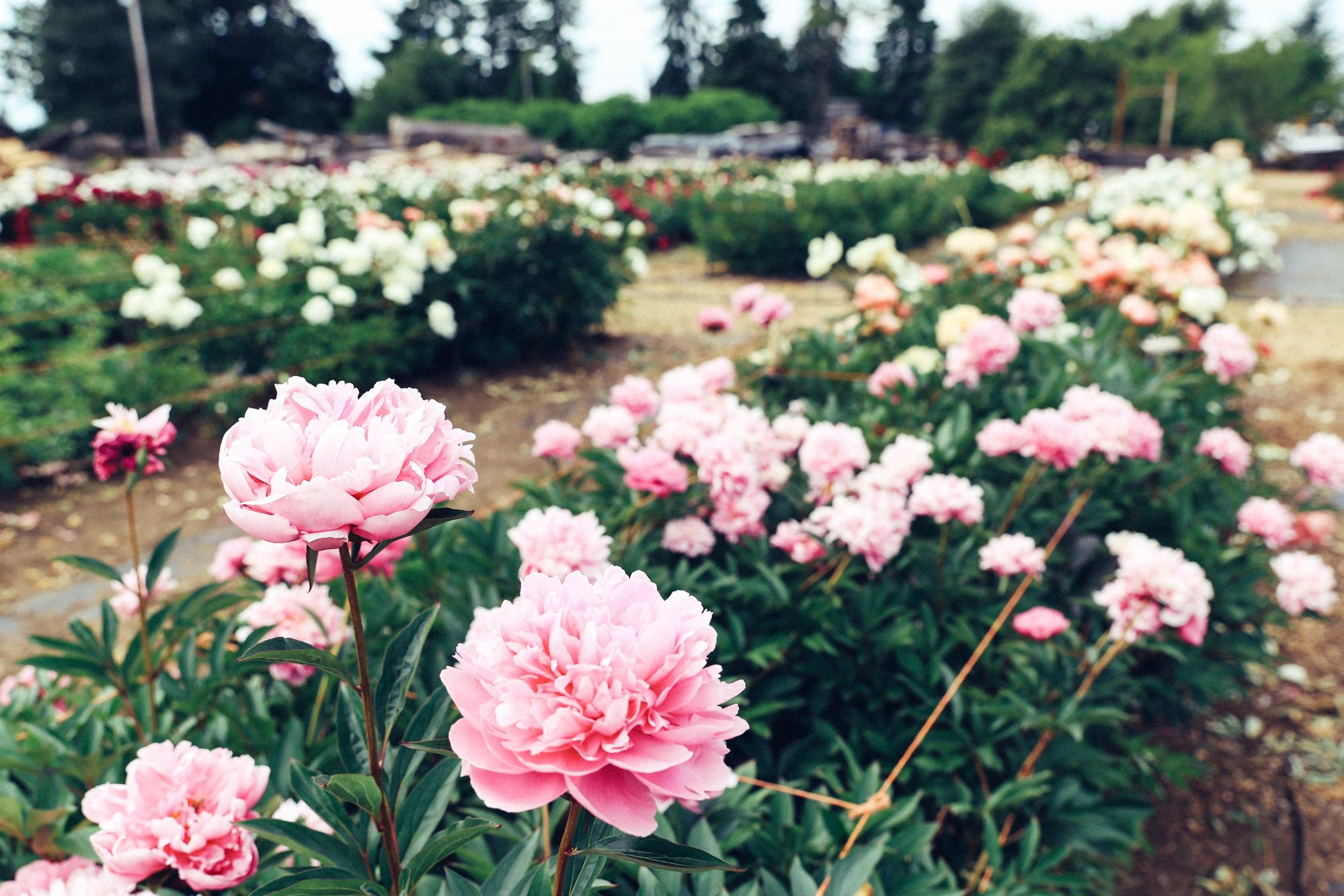 PNW Peony Farm - Oh Flora Travels-4.jpg