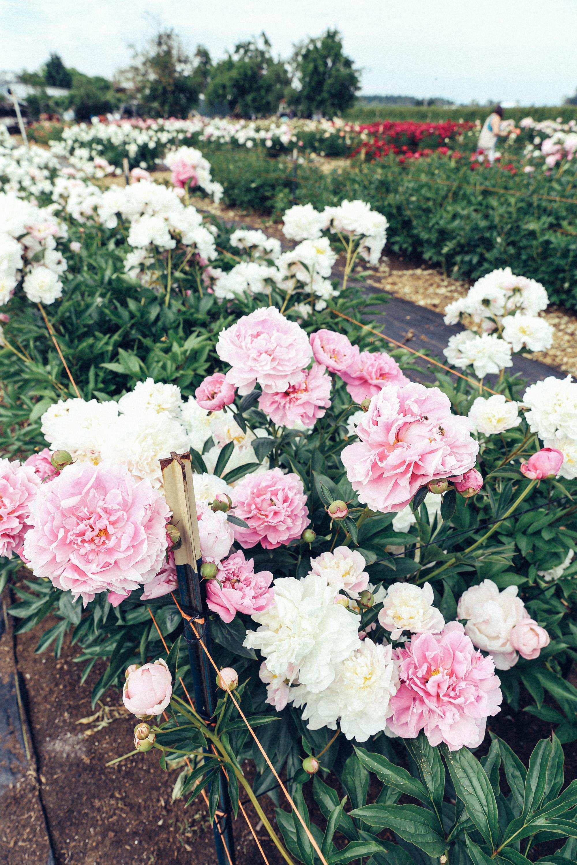 PNW Peony Farm - Oh Flora Travels-3.jpg