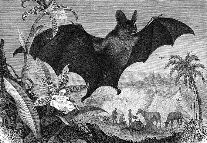 "Eduard Oscar Schmidt († 17. Januar 1886), ""Großer Vampir, Vampirus spectrum L. 1/4 natürlicher Größe"""
