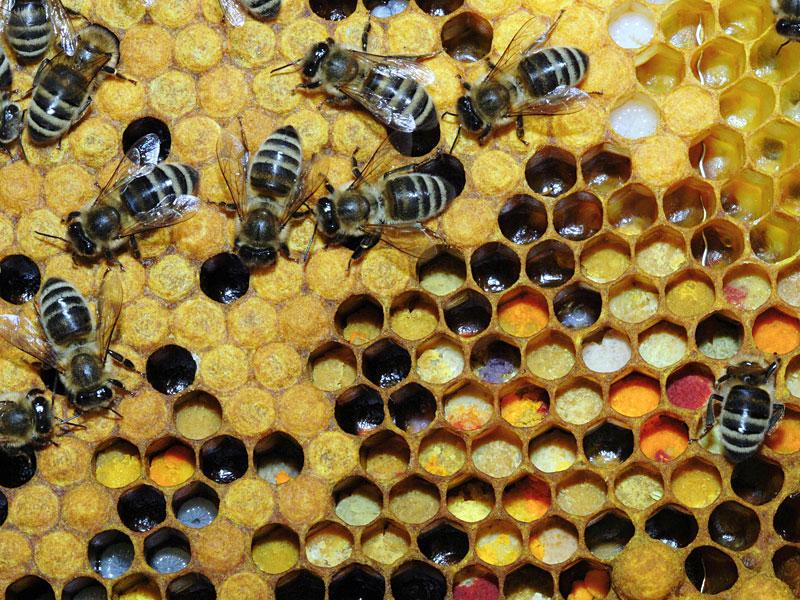 Pollen_in_Wabe_31b.jpg