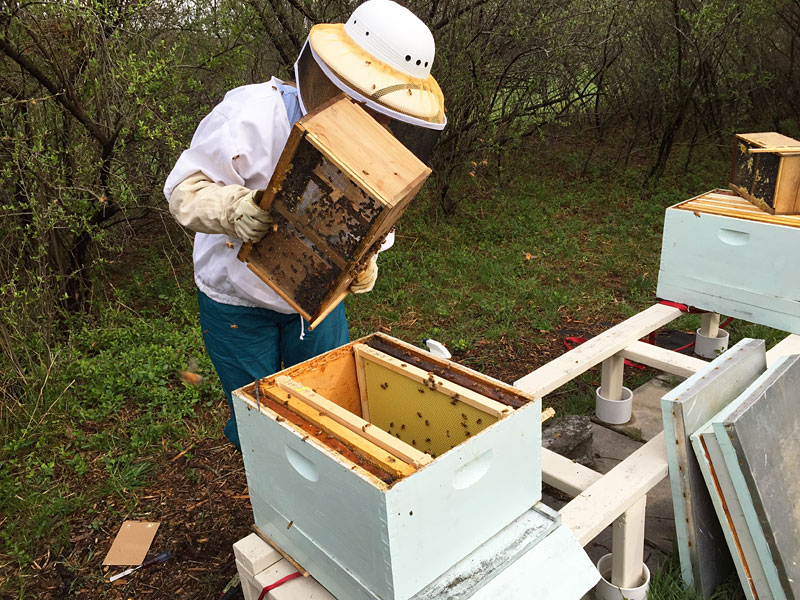 Dumping the worker bees into their new hive
