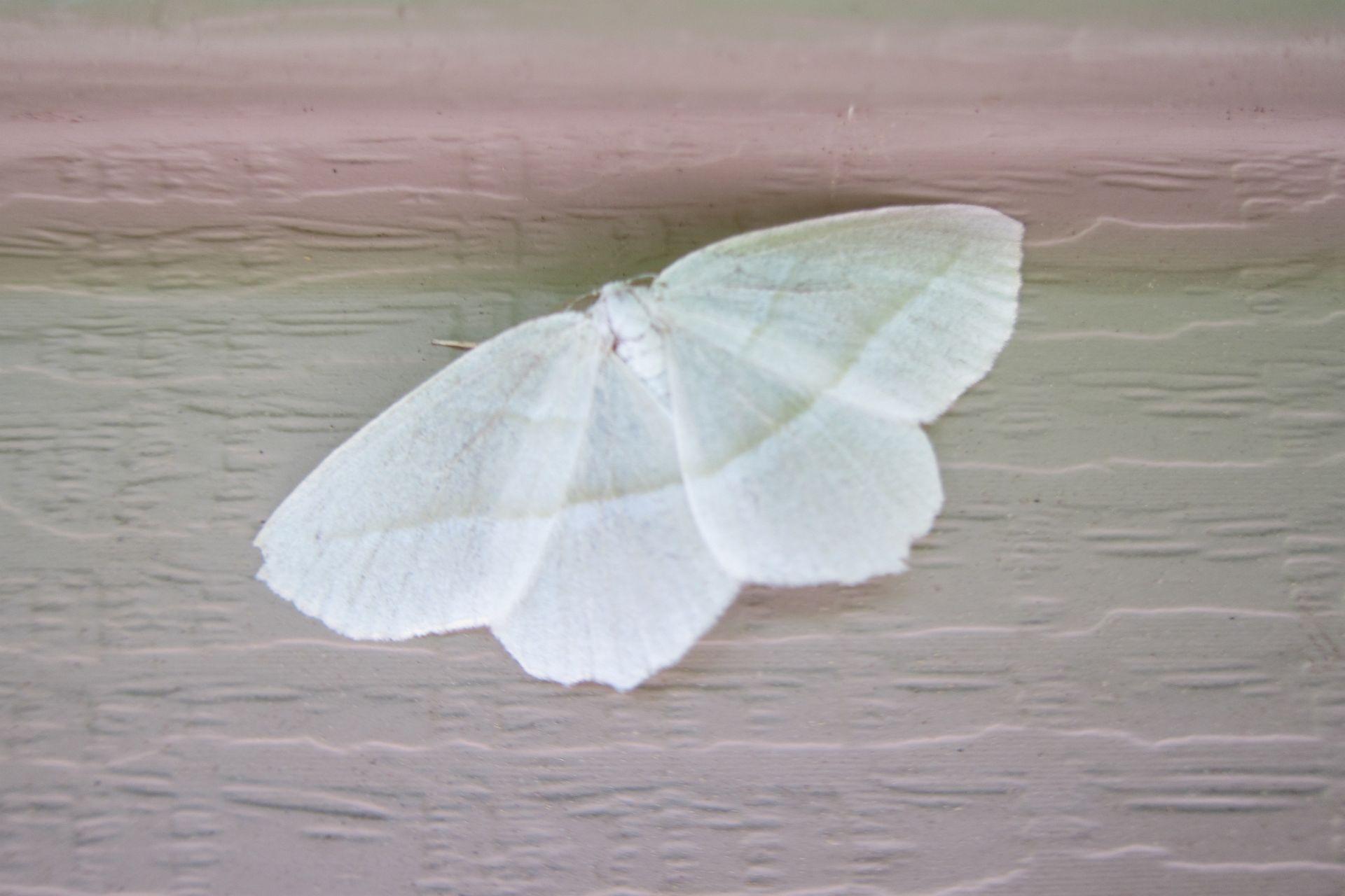 white-moth.jpg
