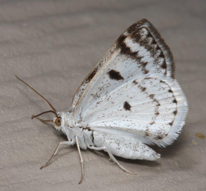 white.moth_.in_.butterfly-like.pose_.jpg