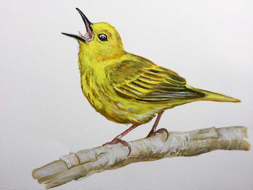 KHeaton_yellow_warbler.jpg