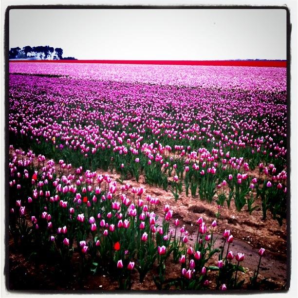 One Show - England's Last Tulip Fields