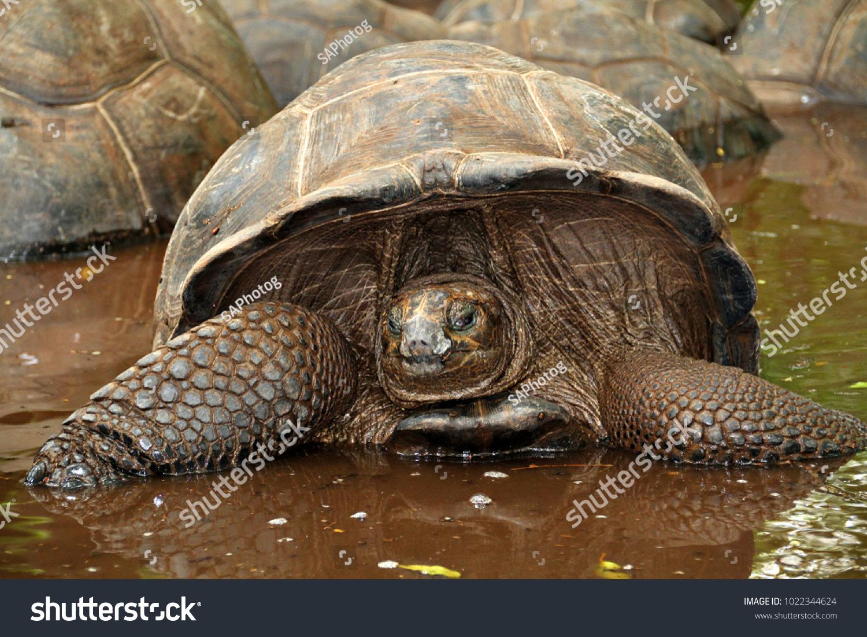 stock-photo-an-aldabra-giant-tortoise-looks-out-from-its-shell-on-prison-island-off-zanzibar-tanzania-1022344624.jpg