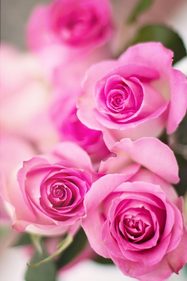 pink-roses-2191631_960_720.jpg