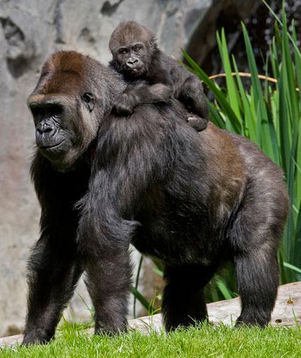 gorilla-accent-savvy.jpg