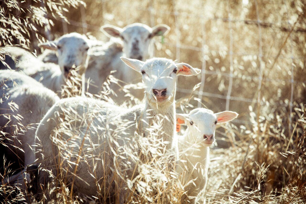 happy lambs1.jpeg