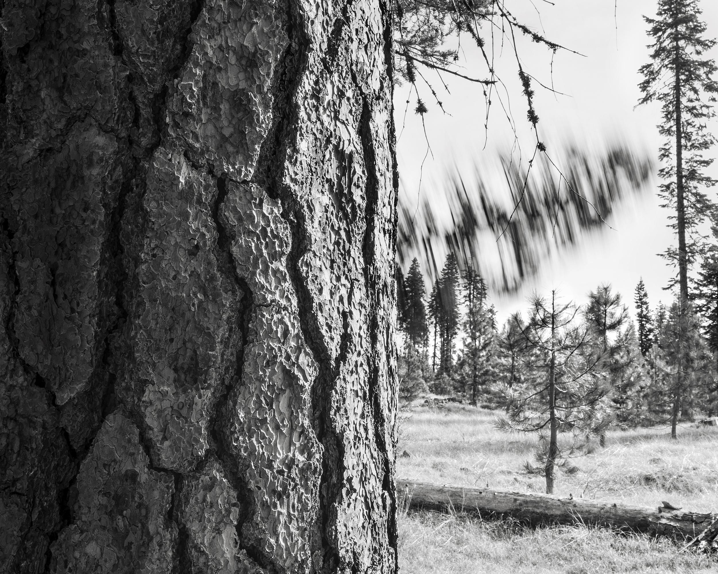 Falling Tree #12, 2009