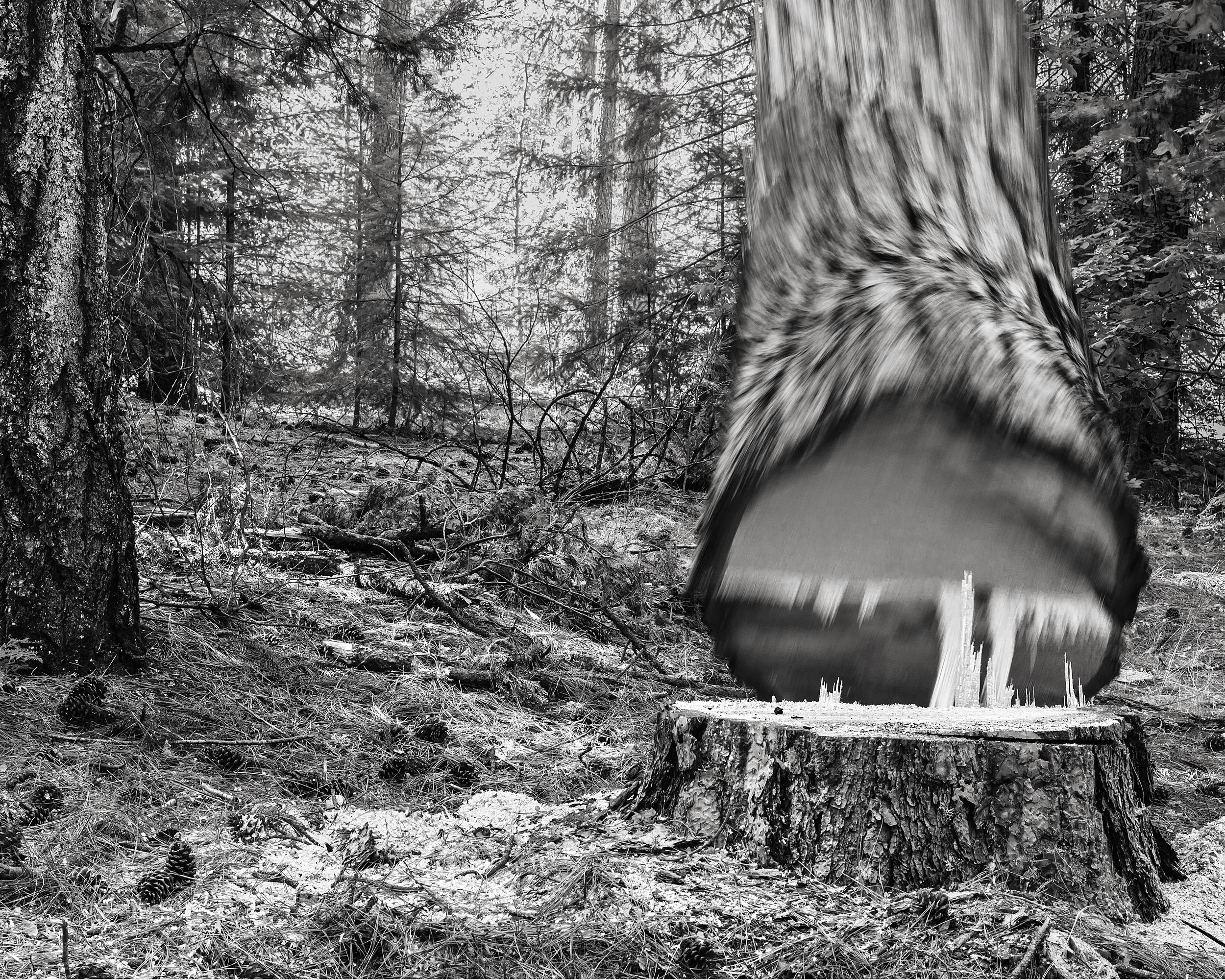 Falling Tree #26, 2009