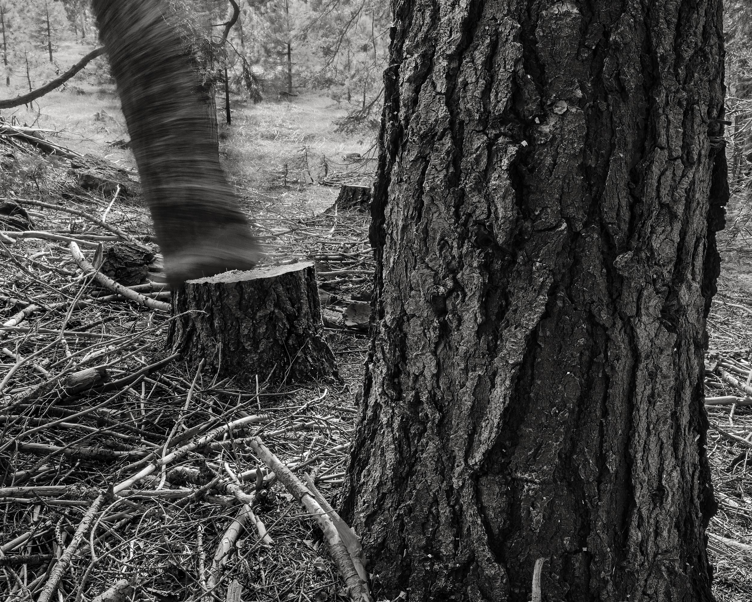 Falling Tree #15, 2009