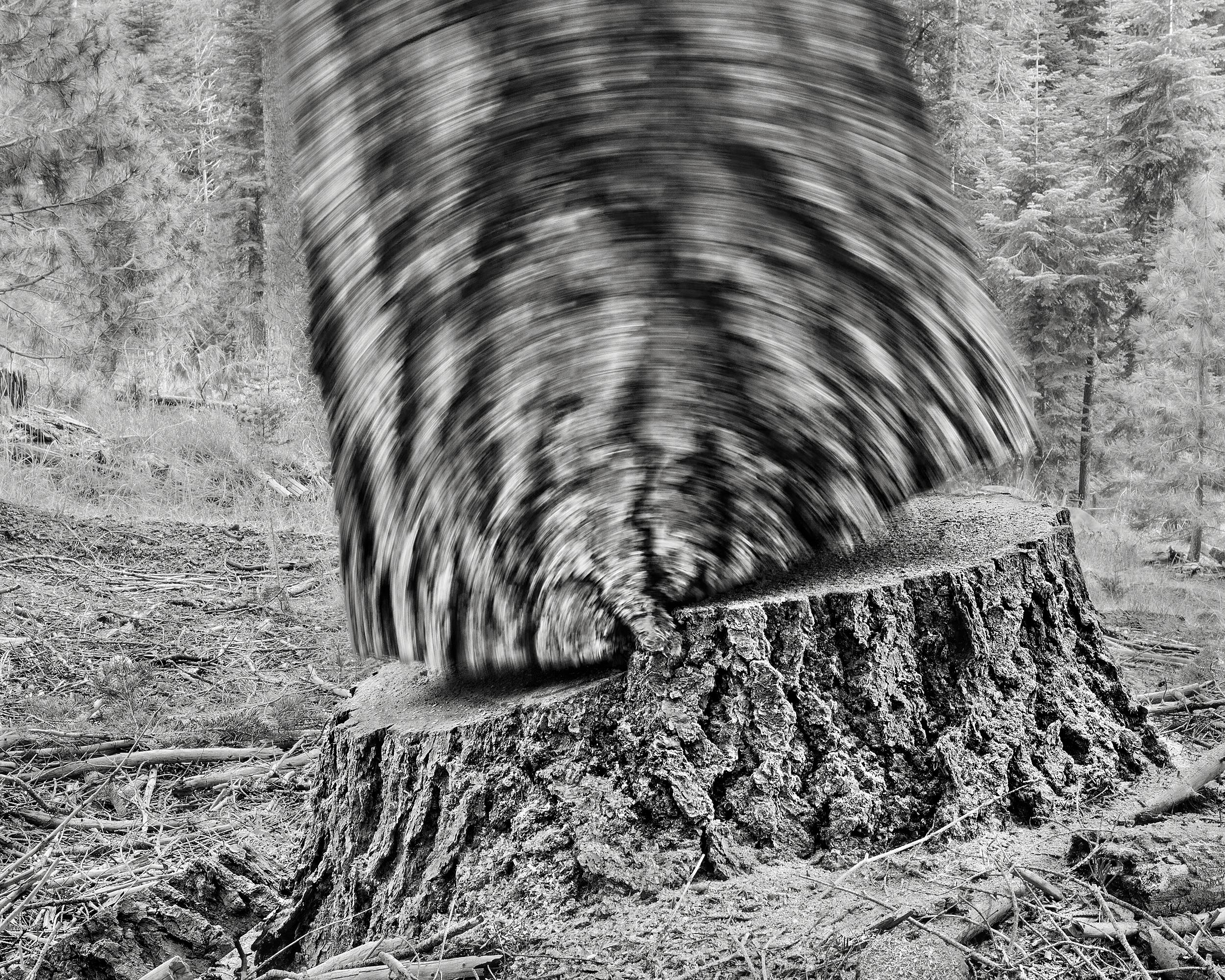 Falling Tree #24, 2009
