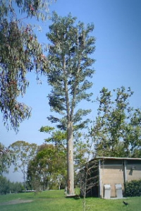 Faux Eucalyptus Tree