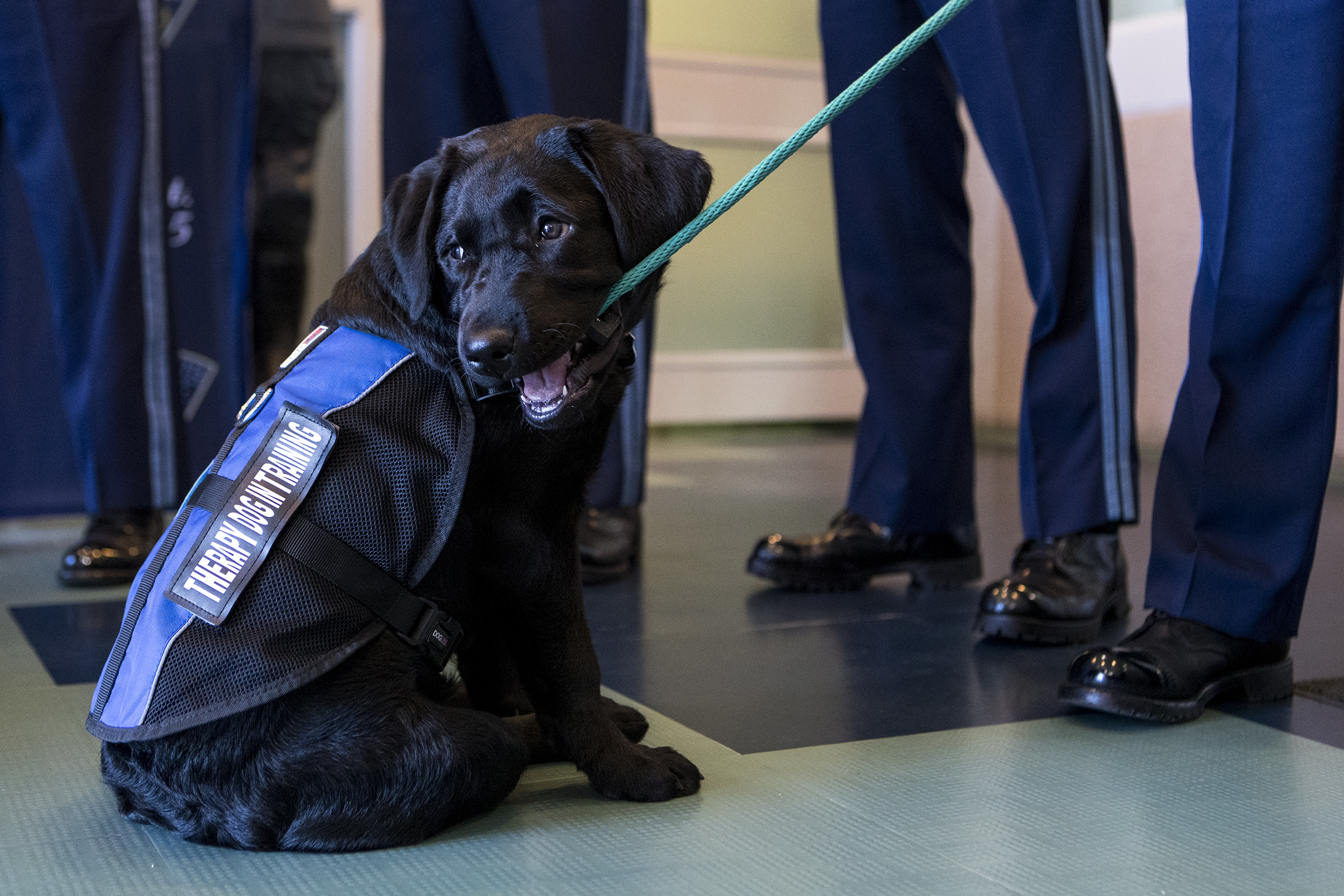 Luna, a four-month old English Black Labrador, chews on her leash after being introduced as the State Police's first-ever comfort dog during a press conference at the General Headquarters in Framingham on April 25, 2019.