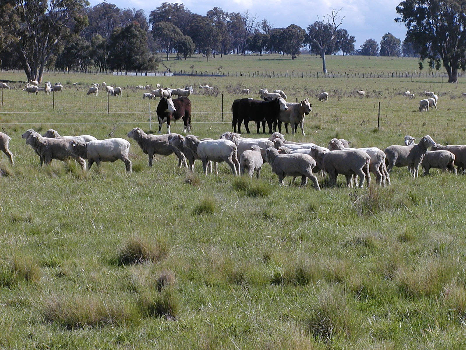 sheep-cattle.JPG