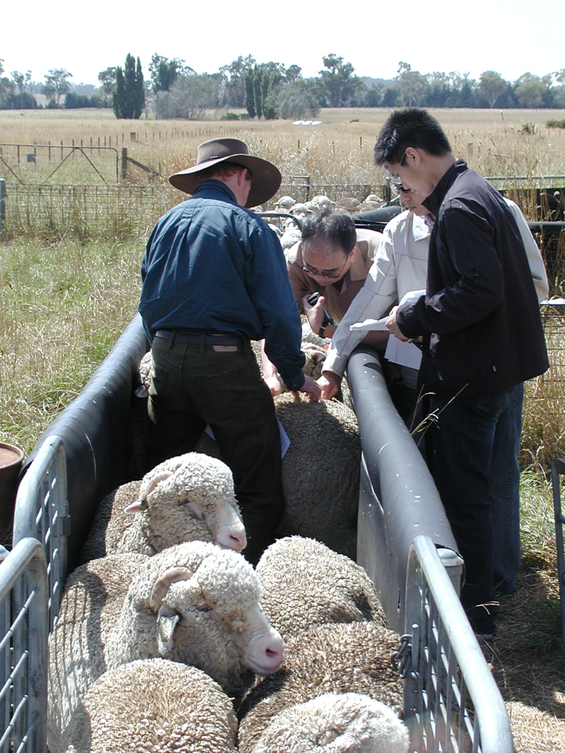 justinhoad-showing-chinesewoolprocessors-ciceronesheep-feb-2006-2.jpg