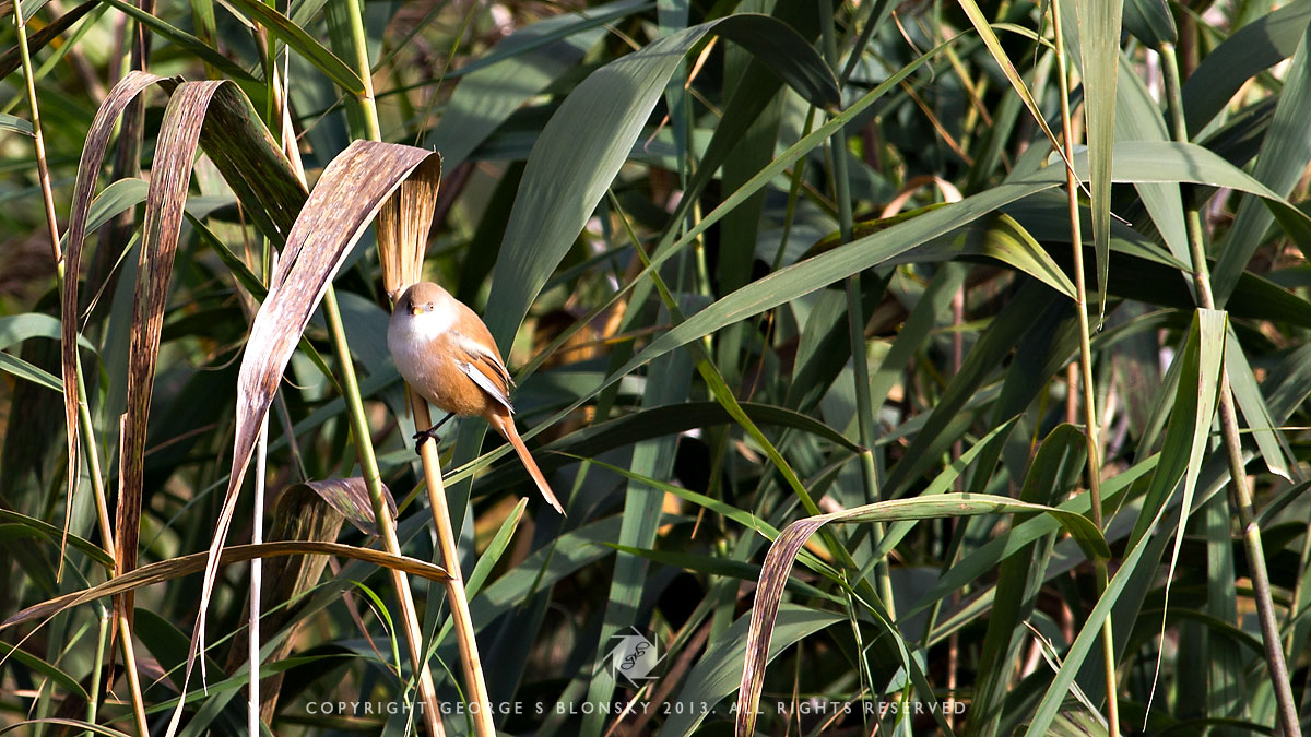 Female Bearded Tit photographed during our 5 day photography tour of Lake Kerkini