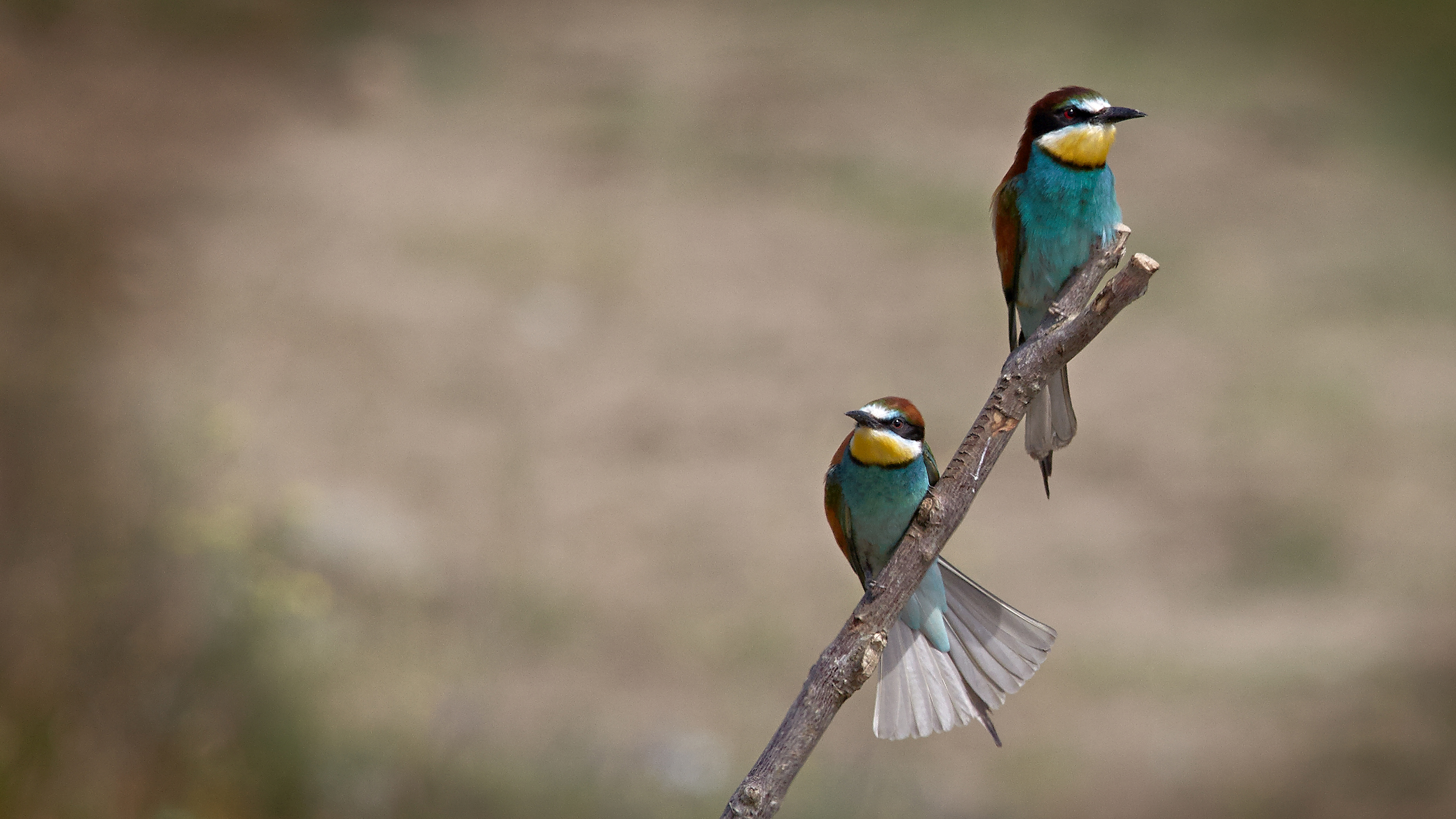 bee-eaters photographed during one of our summer bird & wildlife photography workshops & tours of Lake Kerkini