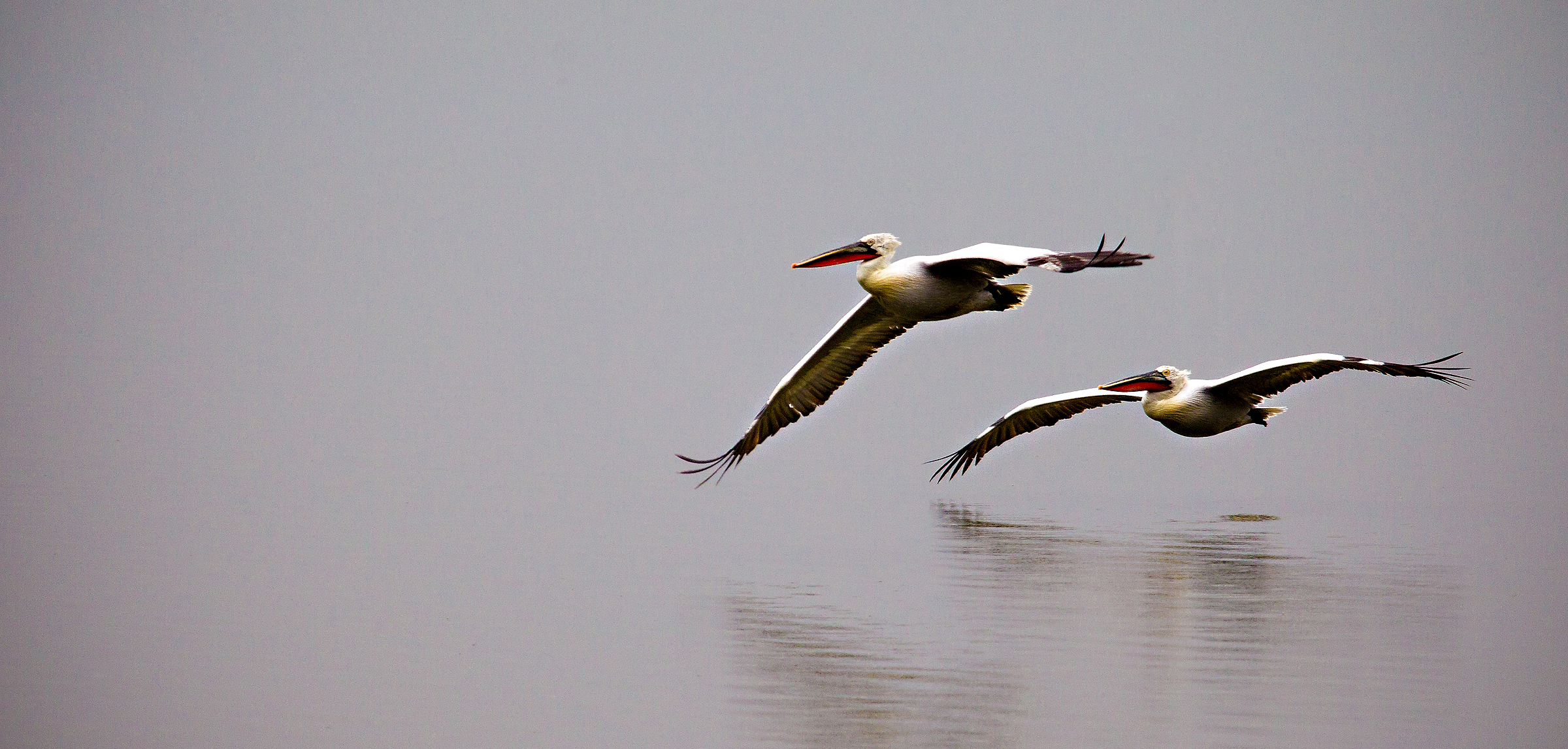 Dalmatian Pelicans in flight over lake Kerkini photographed during one of our landscape, wildlife and bird photography workshops in Greece.