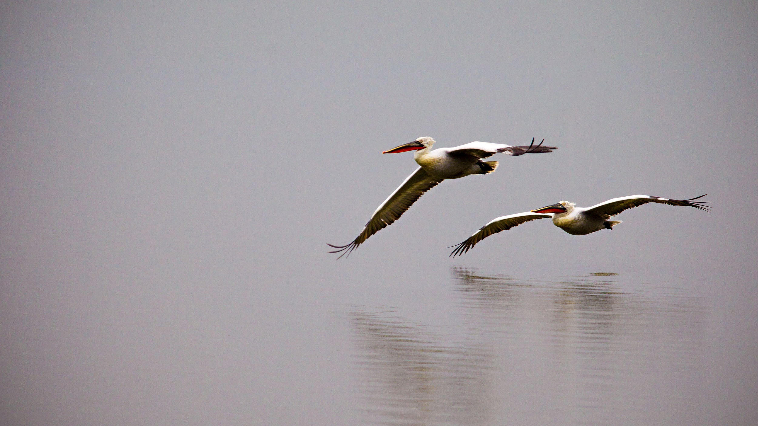"""Dalmatian Pelicans in flight photographed during one of our winter """"purely pelicans"""" wildlife photography weekend workshops at Lake Kerkini"""