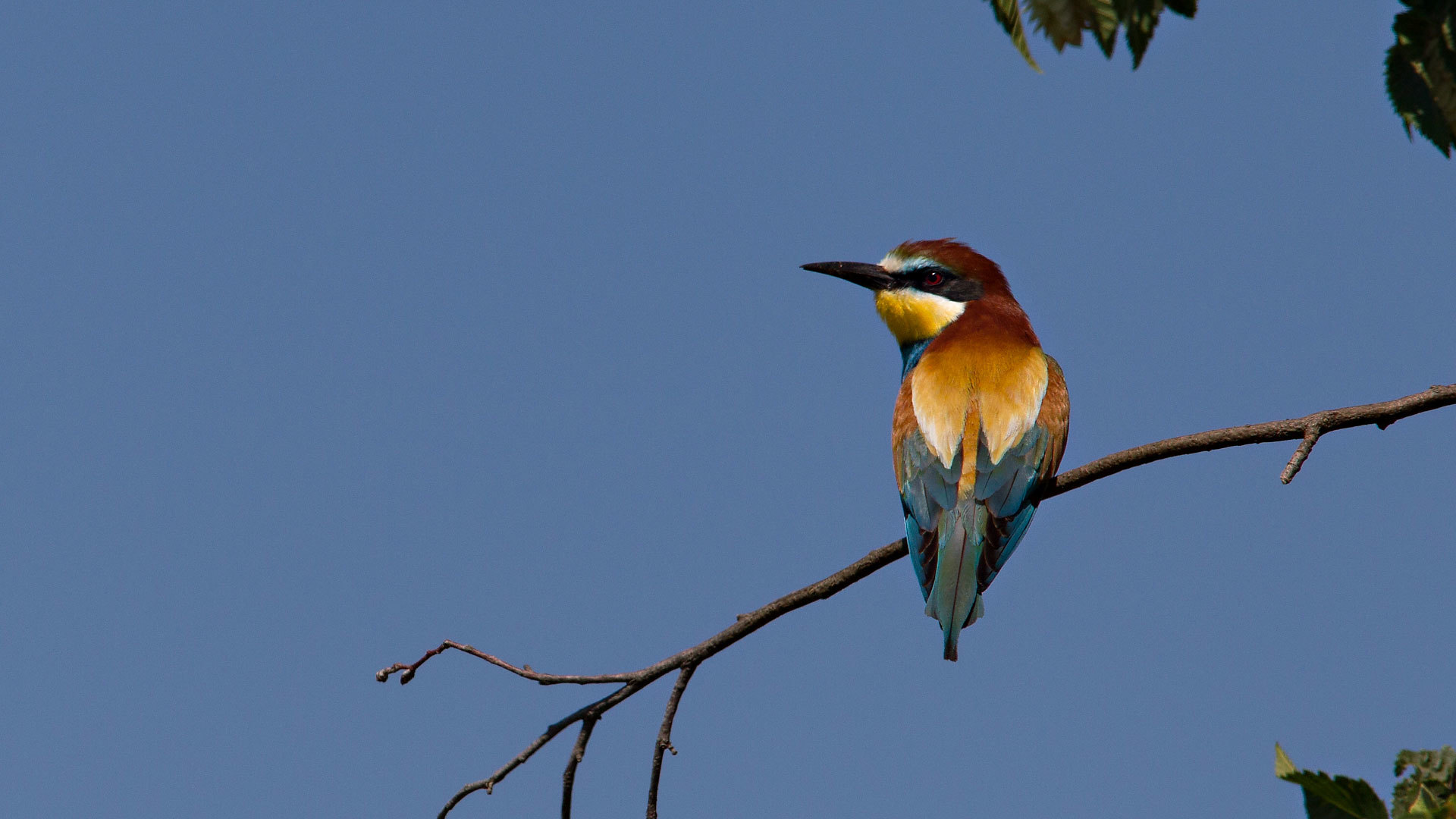 Bee-eater photographed during one of our wildlife and bird-watching holidays in Greece