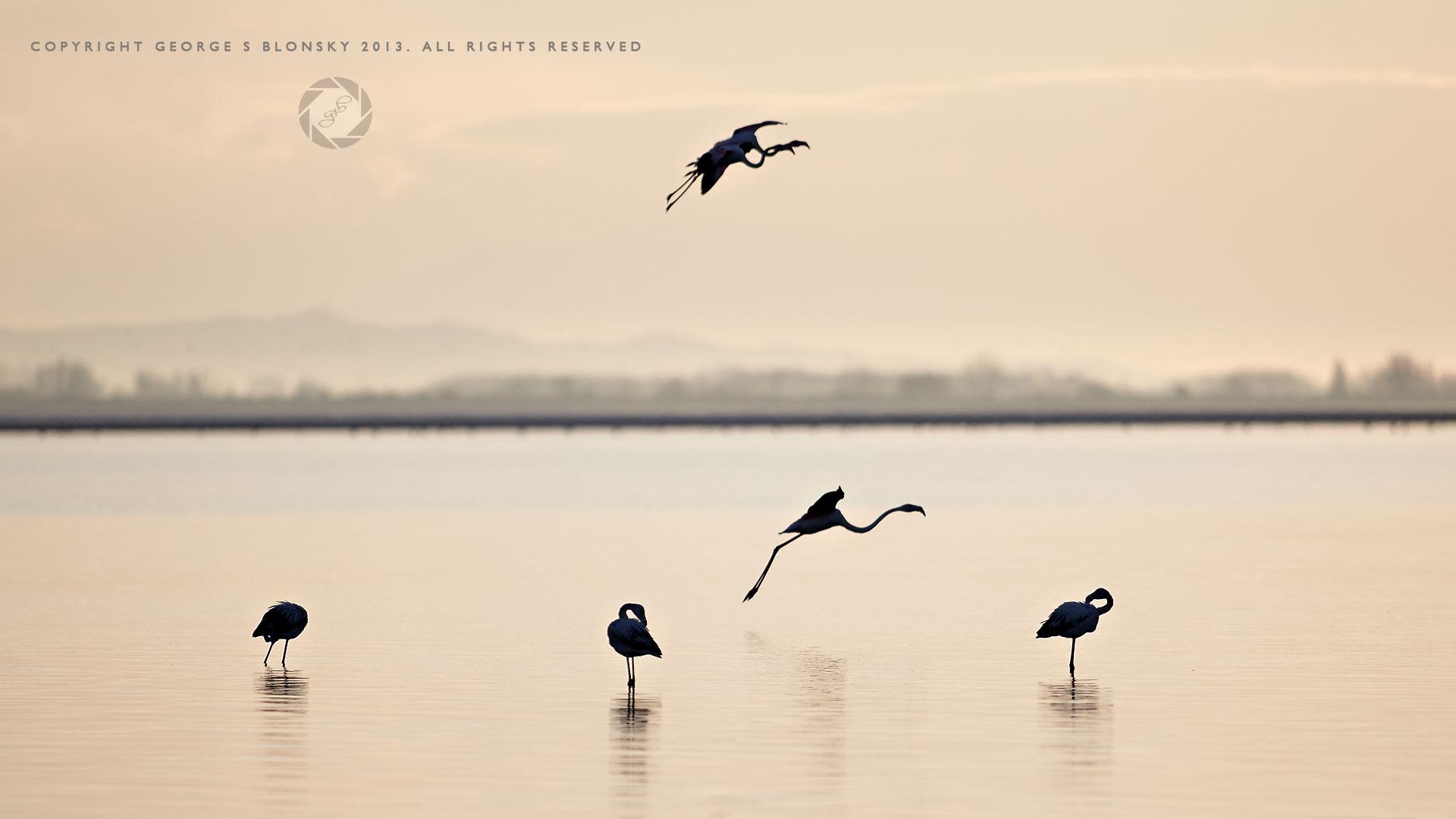 Flamingos at dawn on Lake Kerkini