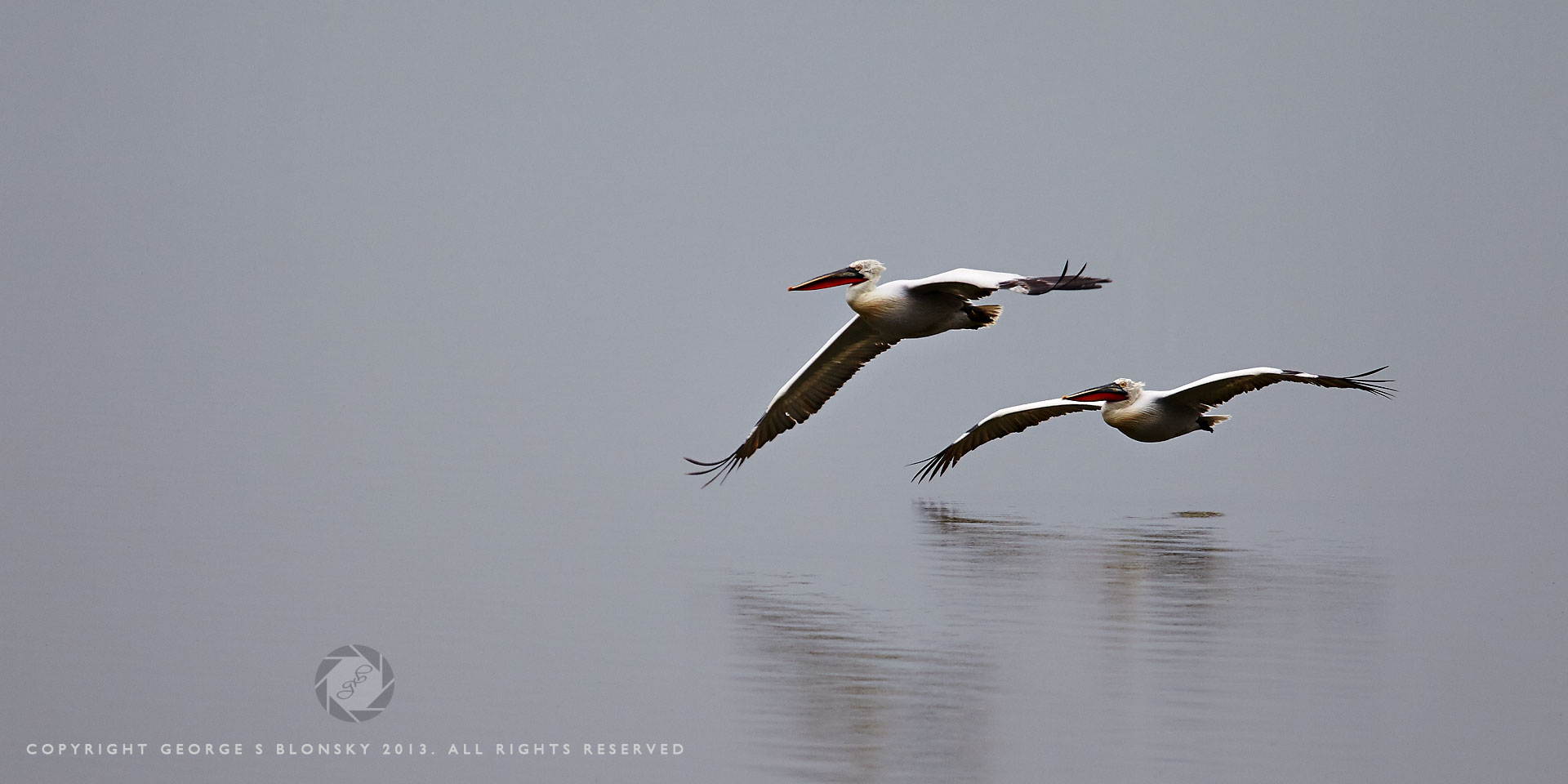 Dalmatian Pelicans gliding flight over Lake Kerkini