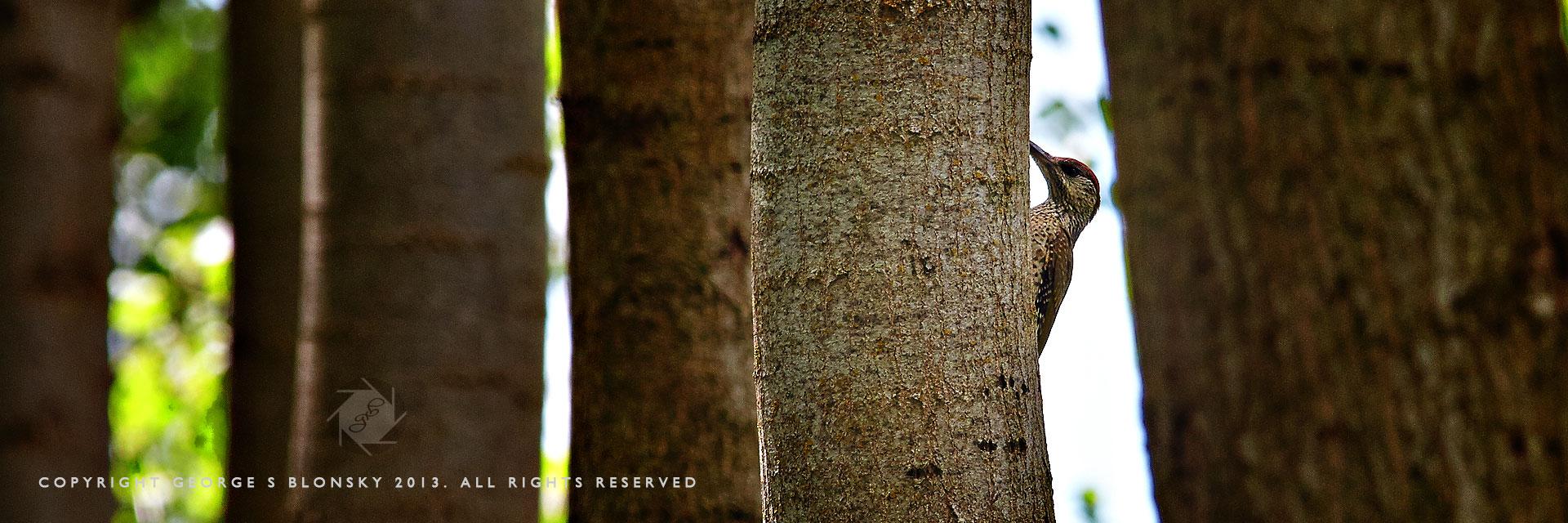 Juvenile Green Woodpecker at Lake Kerkini