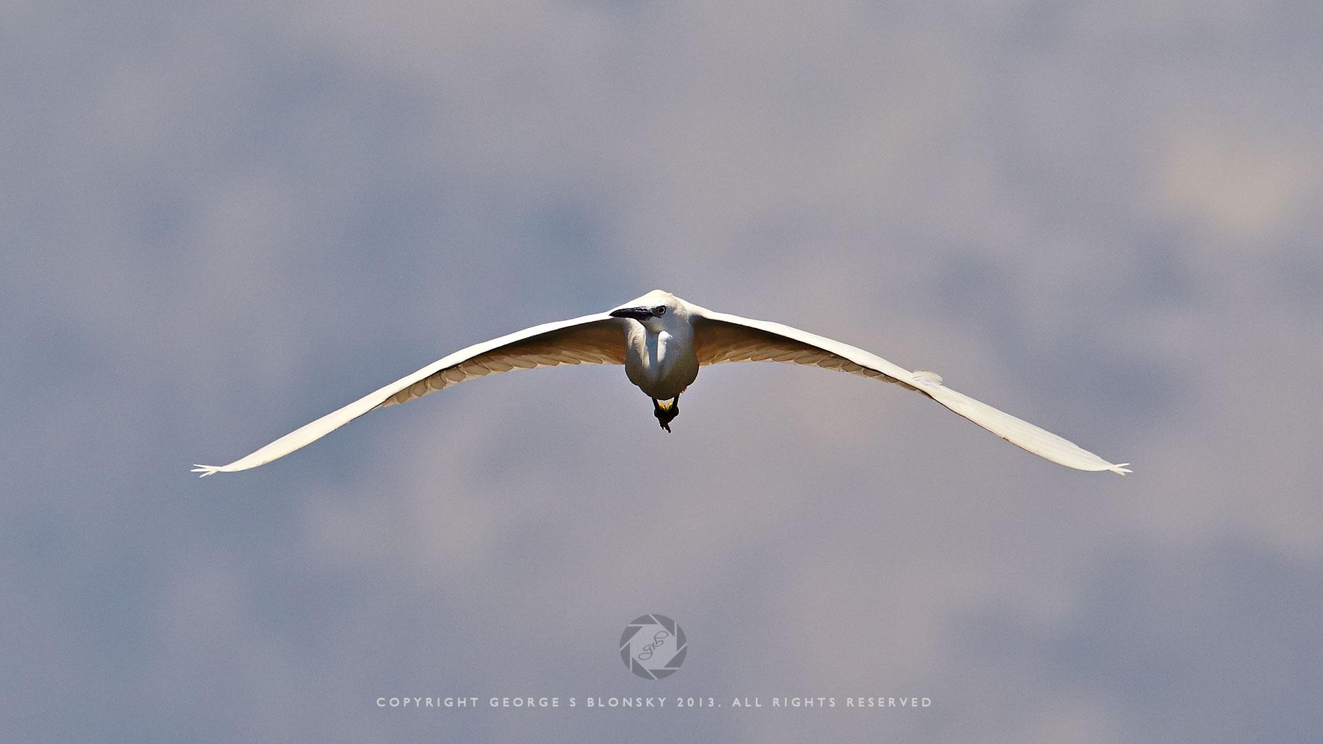 Little Egret in flight at Lake Kerkini